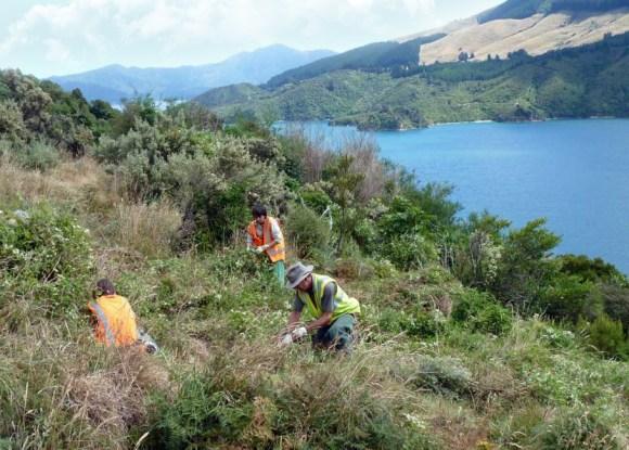 Weeding on Maud Island (Te Hoiere).