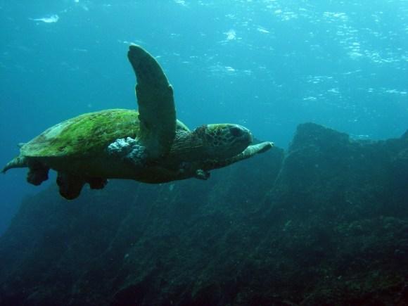 A green sea turtle.