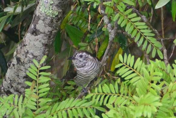 Shining cuckoo. Photo: Jack Mace.