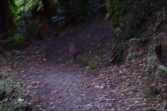 Spotting a kiwi on the Rakiura Track. Photo: Jennifer Ross.