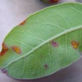 Small purple myrtle rust spots on a leaf.