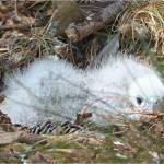 Karearea chicks. Photo: Amelia Willis