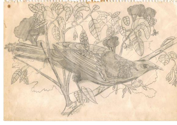 My drawing of a tui for Granddad, 1979.