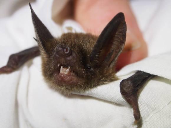 Short-tailed bat.