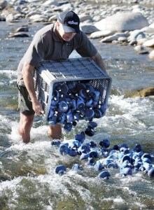 Fiordland whio ranger Andrew 'Max' Smart releasing hundreds of blue ducks into the river for the first great blue duck race. Photo by Barry Harcourt.