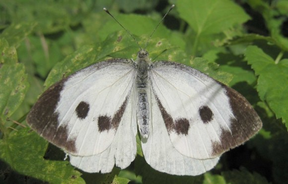 Female great white butterfly. Photo: S Sepp.