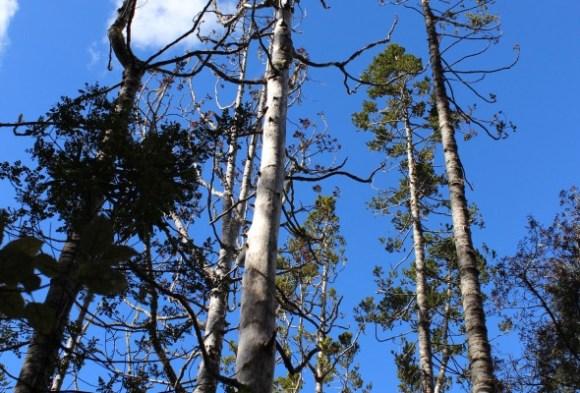 A group of kauri trees.