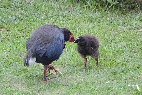Takahē mother and chick on Tiritiri Matangi island.
