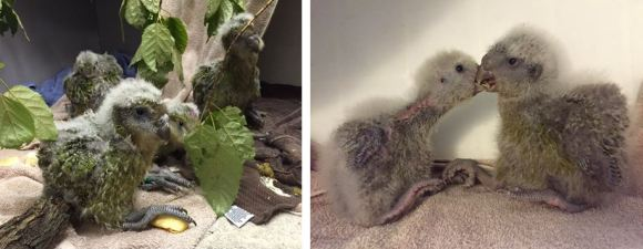 Kakapo chicks hatched this season. Photo: Andrew Digby.