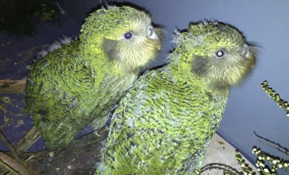 Kākāpō chicks at the Invercargill rearing facility.