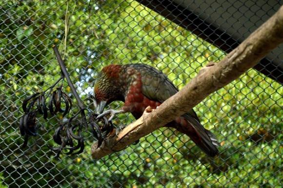 A kākā enjoying its feast at Te Anau Bird Sanctuary.