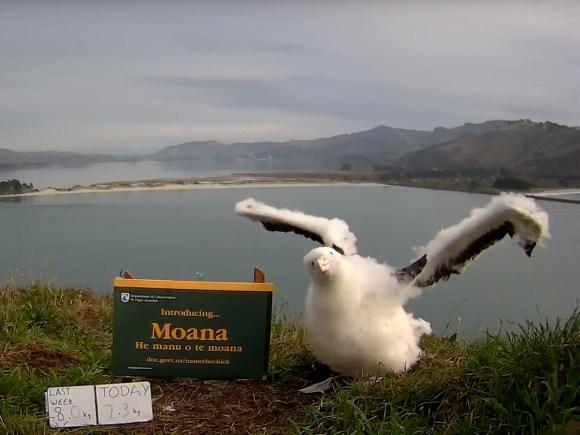 Newly named albatross chick Moana looks to the camera.