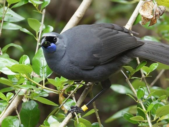 North Island kōkako. Photo: David Cook Wildlife Photography.