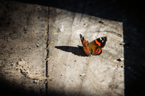 Red admiral butterfly. Photo: Janice McKenna ©.