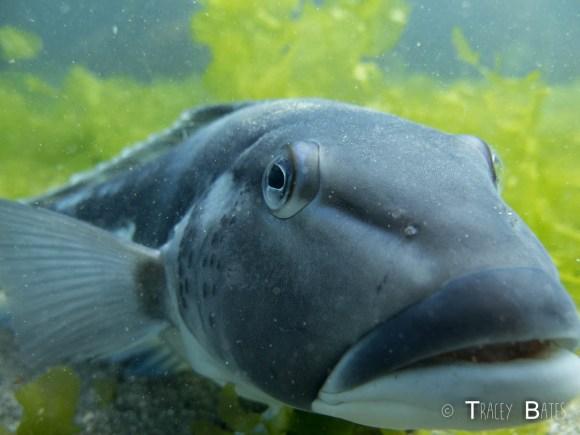 Blue cod/rāwaru in Taputeranga Marine Reserve. Photo: Tracey Bates.
