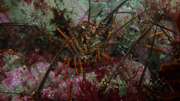Crayfish/koura. Photo: Tracey Bates.