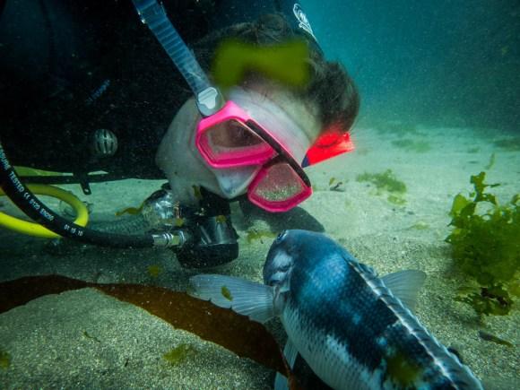 Blue cod/rāwaru in the Taputeranga Marine Reserve. Photo: Tracey Bates.