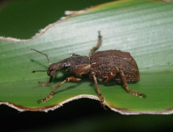 Flax weevil, Anchor Island. Photo: Colin Miskelly (Te Papa).