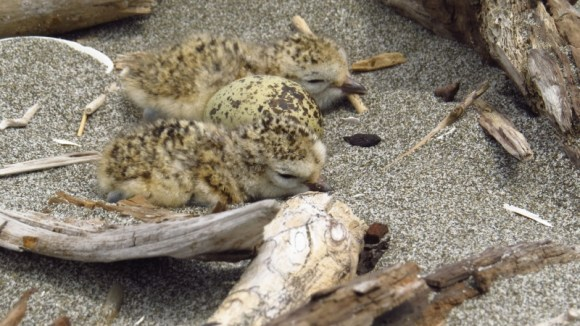 Northern New Zealand dotterel chicks. Photo: Mithuna Sothieson.