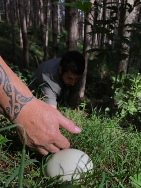 Finding a kiwi egg.