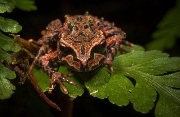 Archey's frog. Photo: James Reardon ©.
