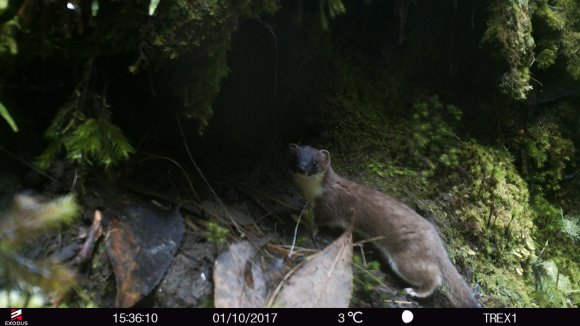 Stoat at T-rex' nest.JPG