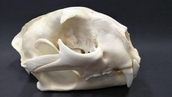 Puma skull.