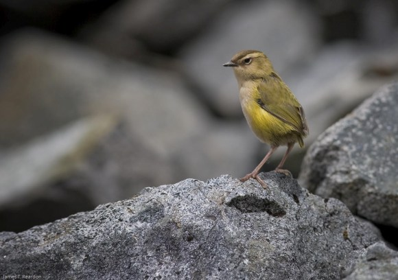 A rock wren surveying its rugged home. Credit: © James Reardon.