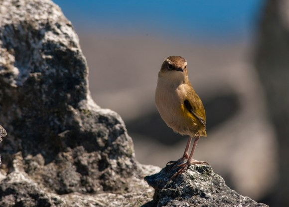 Rock wren can be identified by their upright stance and short tail. Credit: © James Reardon.