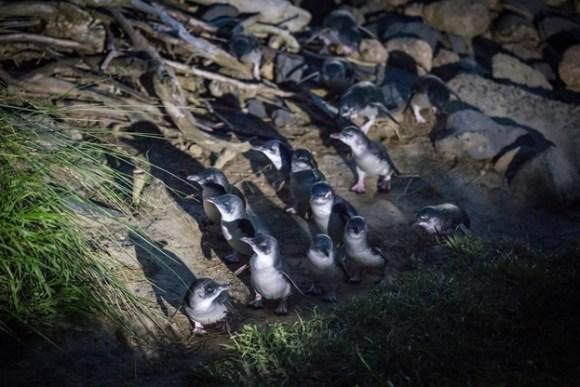 Kororā/little blue penguins.