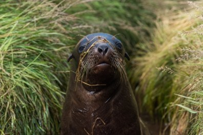 New Zealand sea lion pup.