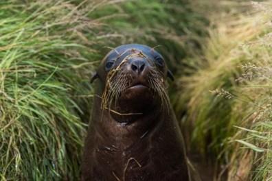 New Zealand sea lion pup.