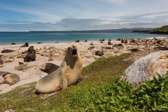 New Zealand sea lions.