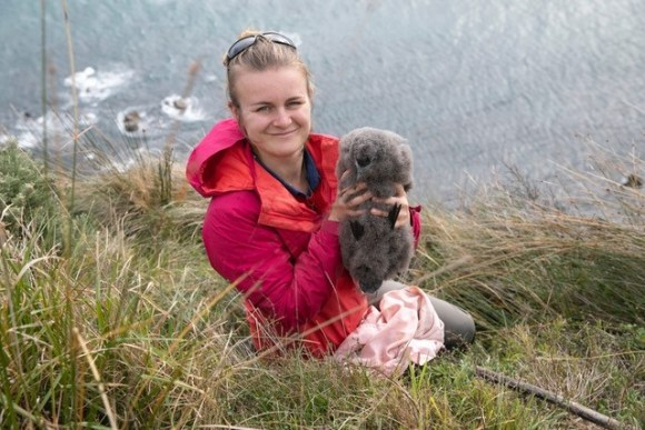 A sooty shearwater chick held by volunteer Annemieke Hendricks during banding work. The chicks are often double the adult weight at this stage. 📷: Dale Shirtliff.