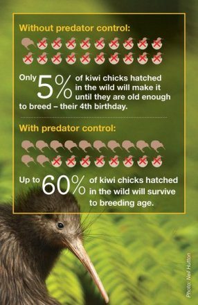 Kiwi infographic. Credit: DOC