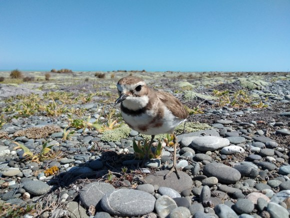 Female banded dotterel - the boss of her patch. Credit: James Bohan (DOC)