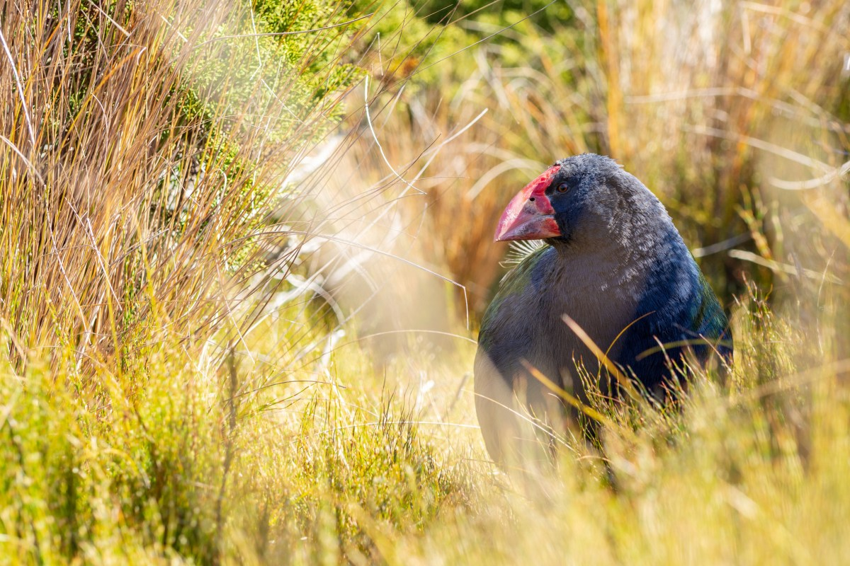 Returning takahē to the wild: lessons learned | Conservation blog