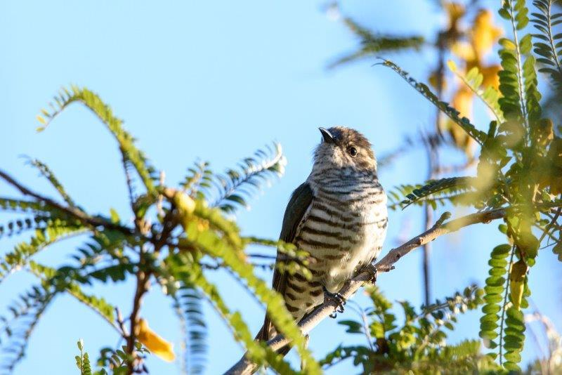 Pīpīwharauroa: nature is still doing what nature does | Conservation blog