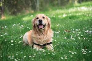 Golden retriever på græs