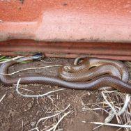 Little Whip Snake (Parasuta flagellum)