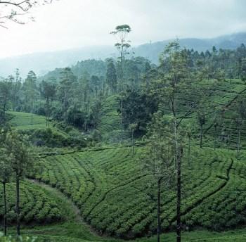 Tea 'Camellia Sinensis' Plantation in Sri Lanka