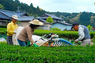 Tea Harvesting by Machine in Japan