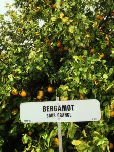 Earl Grey gets its flavor from the bergamot fruit.
