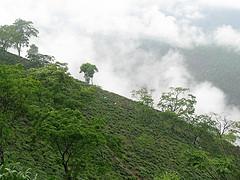 Mountainous Darjeeling tea plantation, India