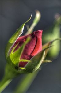 Photo of a rose bud which can be used to create scented teas.