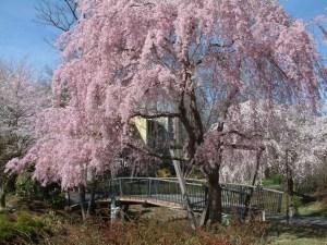 Beautiful pink blossoms of a tree at Lake Reston.