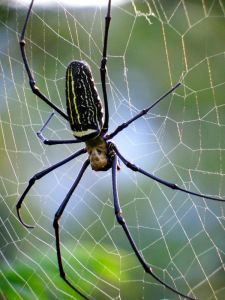 One of the largest spiders on the planet found in large parts of Asia