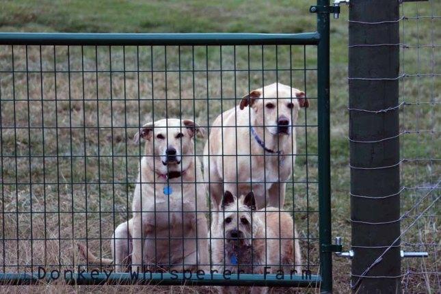 dogswaitingagainirigiationditch20123