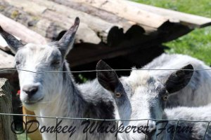 goatsneighbors2014aprilclosedyeyeneighbors