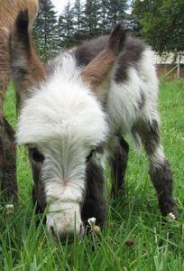 mini donkey photo